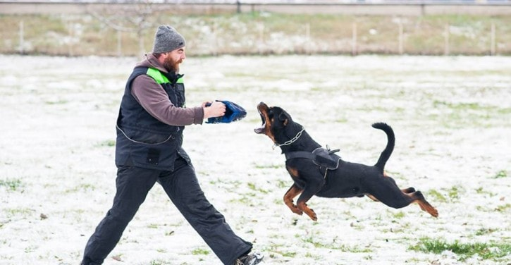 Rottweiler police dog