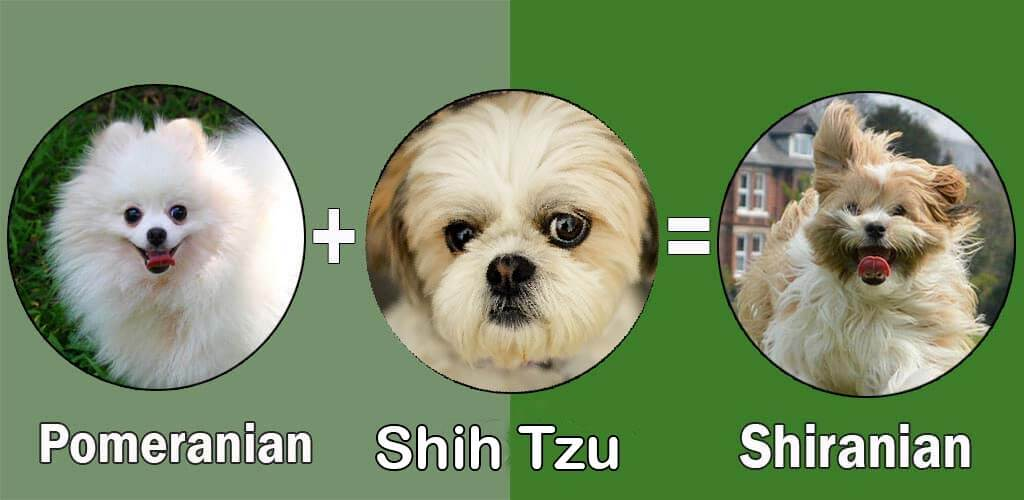 shih tzu pomeranian mix price top 10 pomeranian cross breeds mix breeds by dogmal com 5283