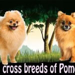 Top 10 cross breeds of Pomeranian
