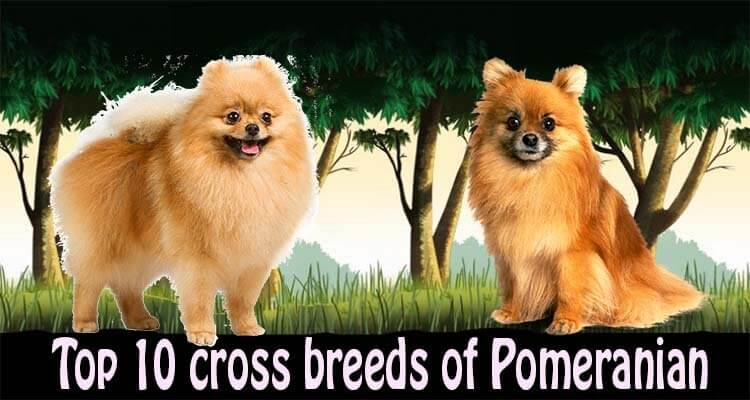 Pomeranian cross breeds