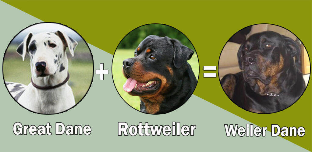 Top 10 Unreal Rottweiler Cross Breeds Mix Breeds