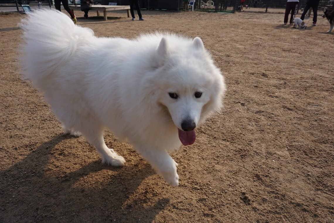 Samoyed dog breed Personality, Appearance, characteristics