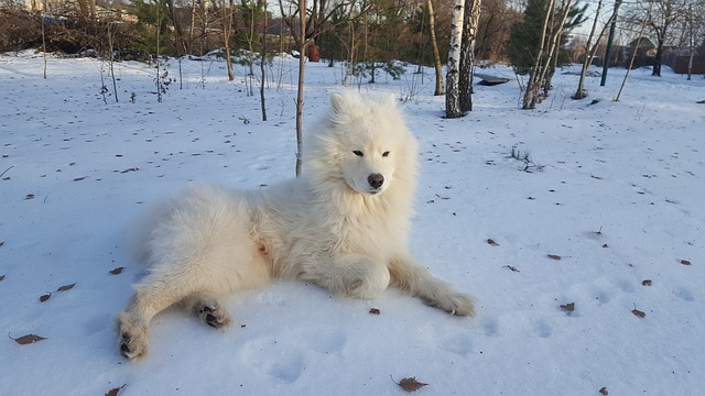 samoyed puppy hd photo
