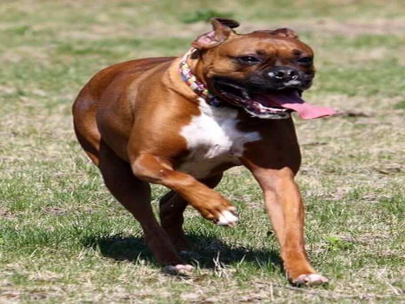 Boxer playing photo