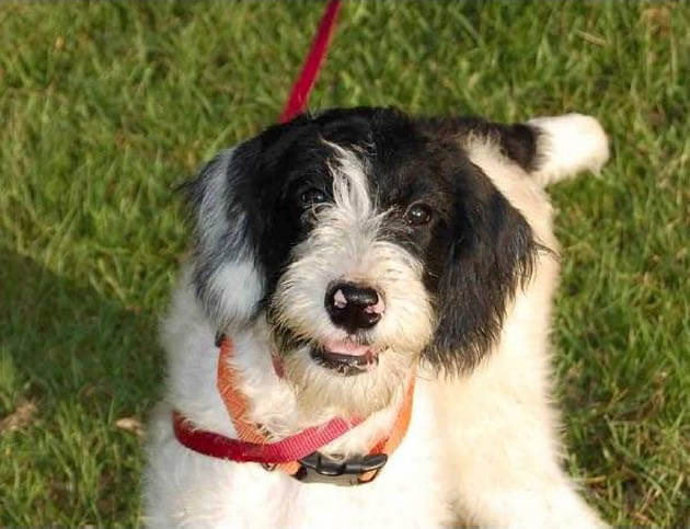 Top 15 mock (faked) poodle cross breeds (Mix breeds)