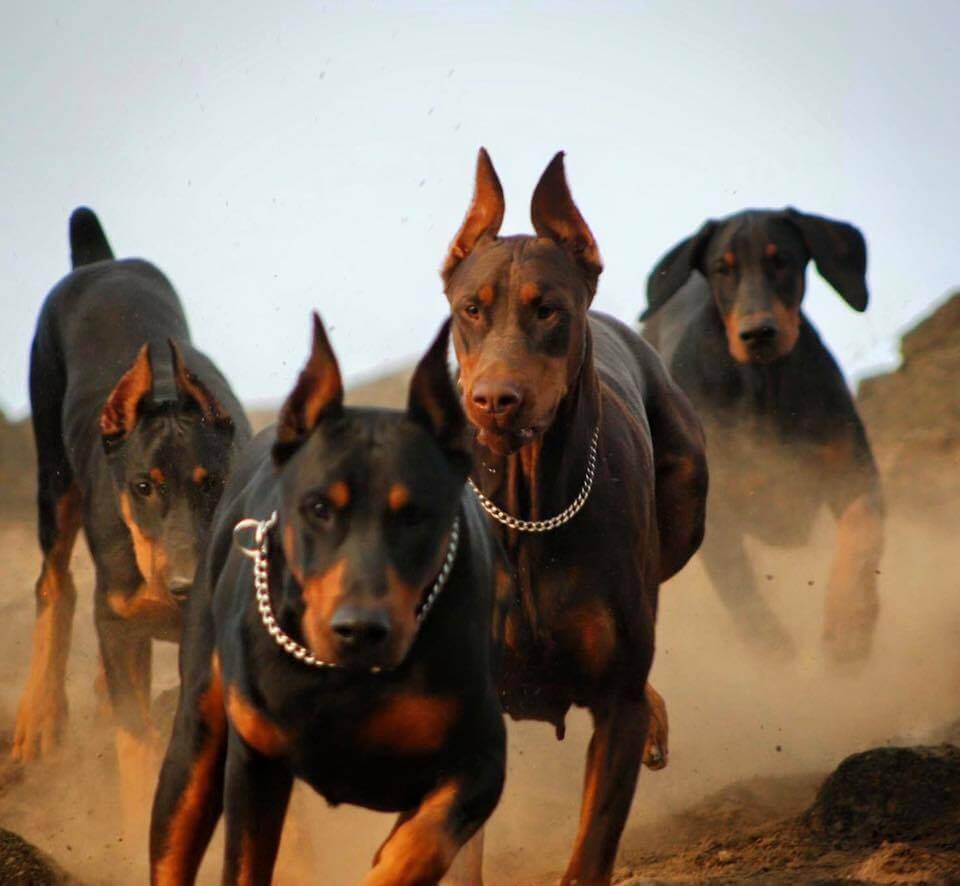 I Has A Hotdog - doberman pinschers - Funny Dog Pictures Dog Funny pictures of doberman pinschers