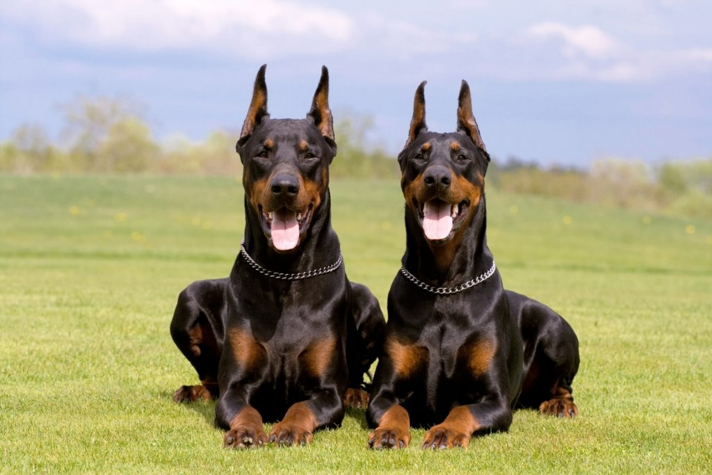 Doberman Pinscher Dog hd wallpapers