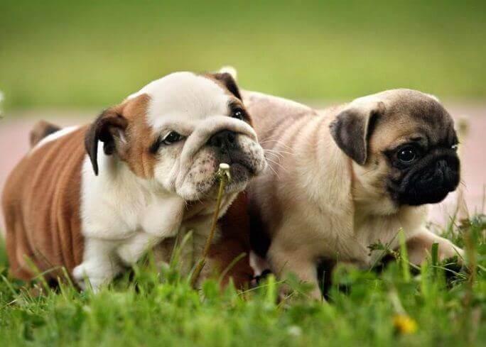 English Bulldog+ Pug