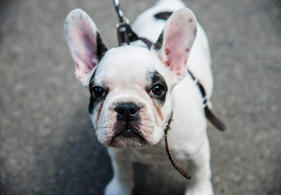 10 Unreal Bulldog cross breeds (Designer or hybrid dog breed)