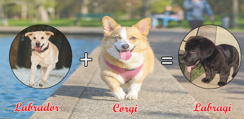 Top 10 Charming Corgi Mix Breeds Or Cross Breeds