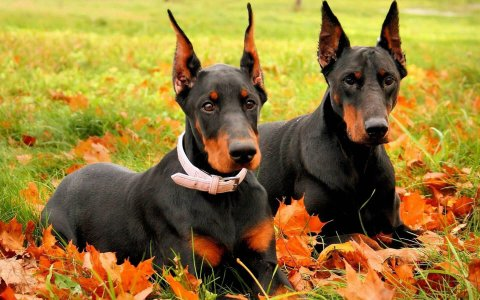 Two dobermans wallpaper