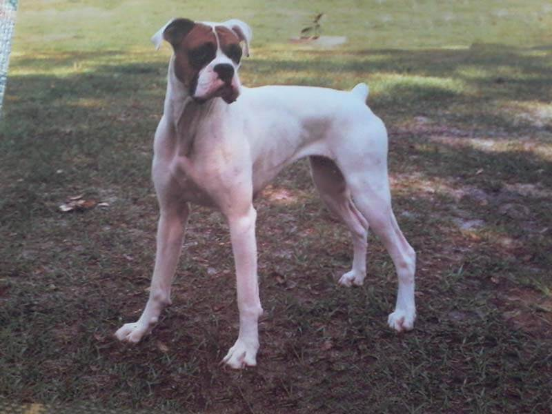 White boxer dog breed