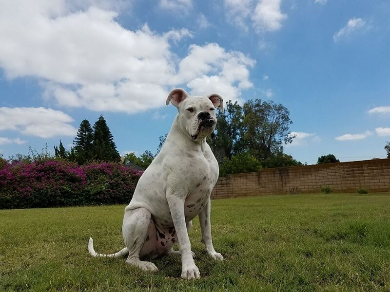 adult white boxer
