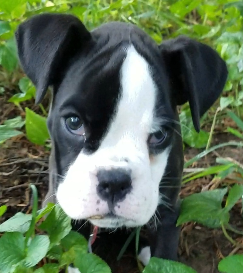 boxer cute puppy