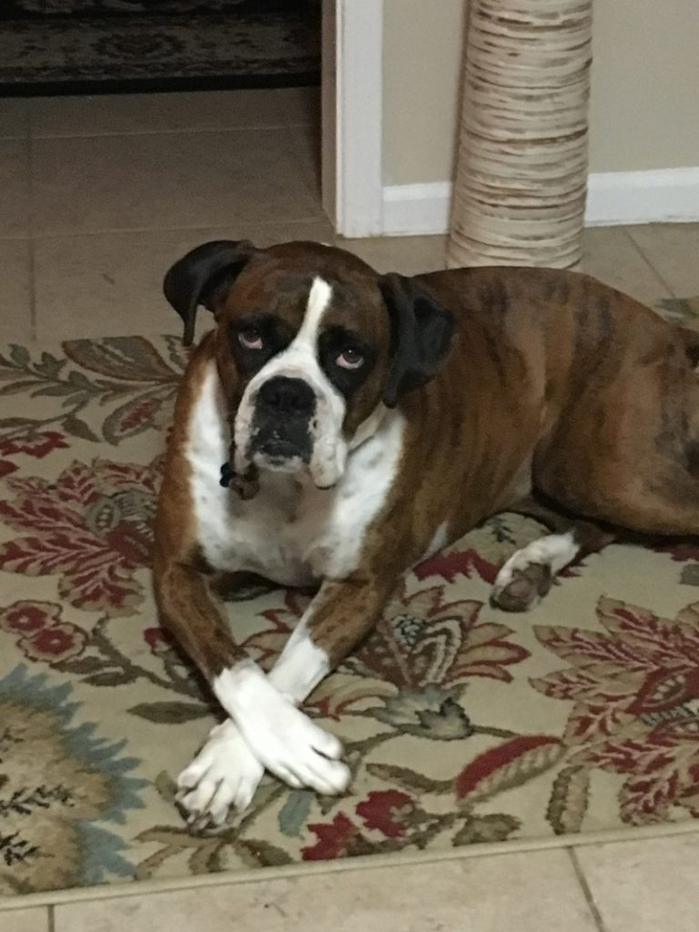 boxer dog rescue