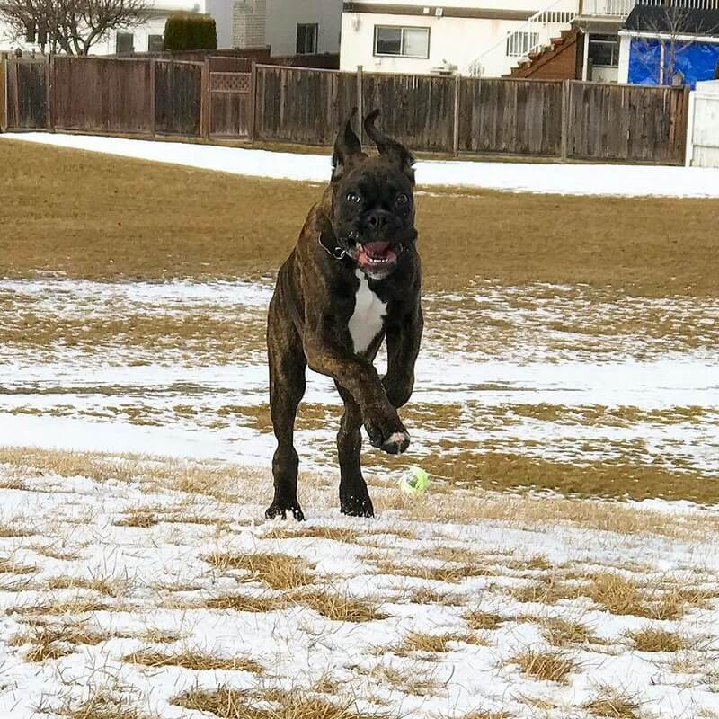 boxer dog runing