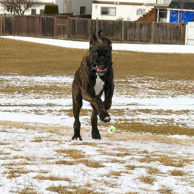 boxer dog runing