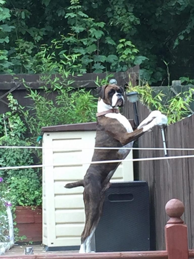 boxer guard dog