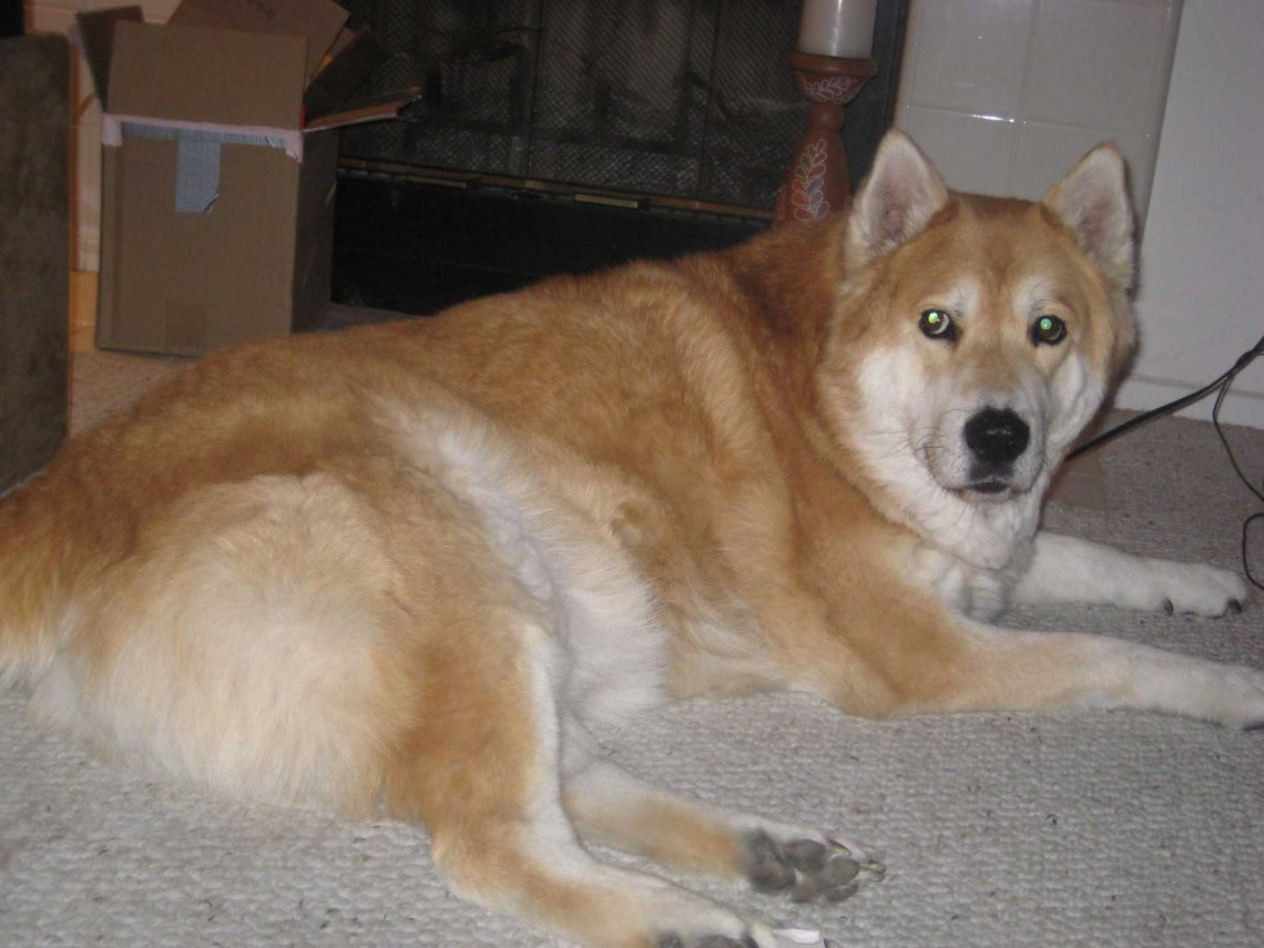 Chusky Dog Breed Personality Temperament And Pictures