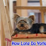 How Long Do Yorkies Terrier usually Live?