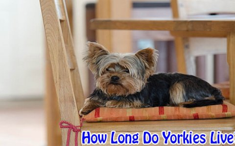 how long yorkies live