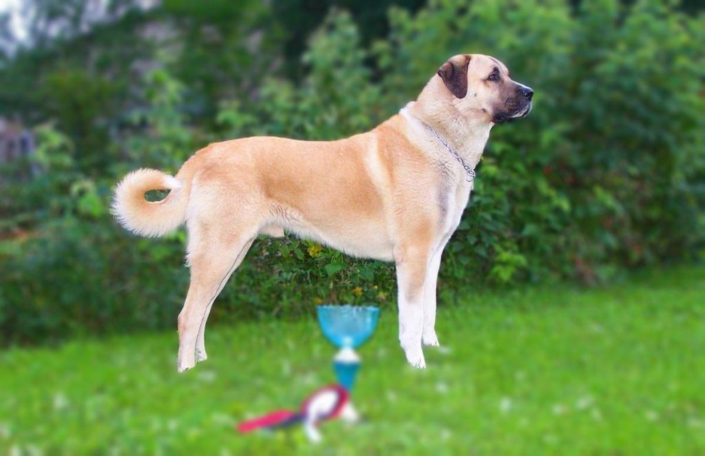 Kangal dog Personality, Temperament and HD pictures