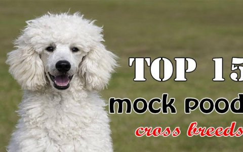 Poodle cross breeds