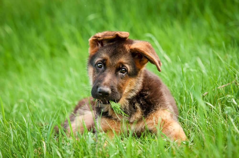 German shepherd cute puppy