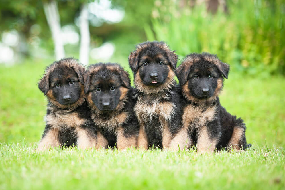 Adopting German Shepherd Puppies Everything You Need To Know