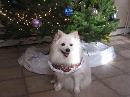 Top 12 American Eskimo Dog Cross Breeds Dogmal Com