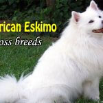 Top 12 American Eskimo Dog Cross breeds