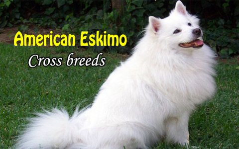 American eskimo cross breeds