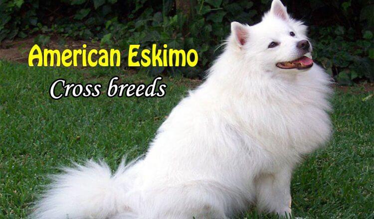 American eskimo cross breeds