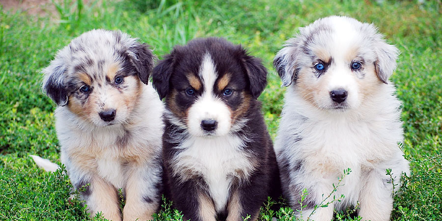 Australian-Shepherd-puppies-photo