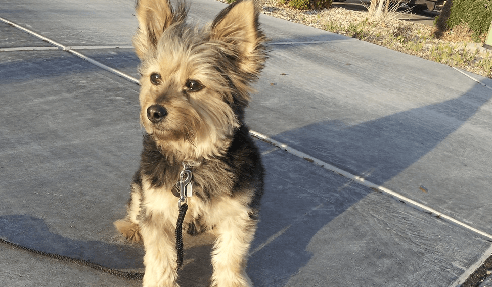 Corgi yorkie mix hd photo