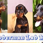 Doberman lab mix – Doberdor