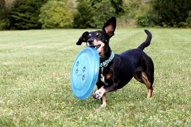 dachshund exercise