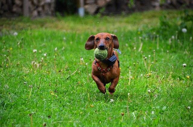 dachshund love jump