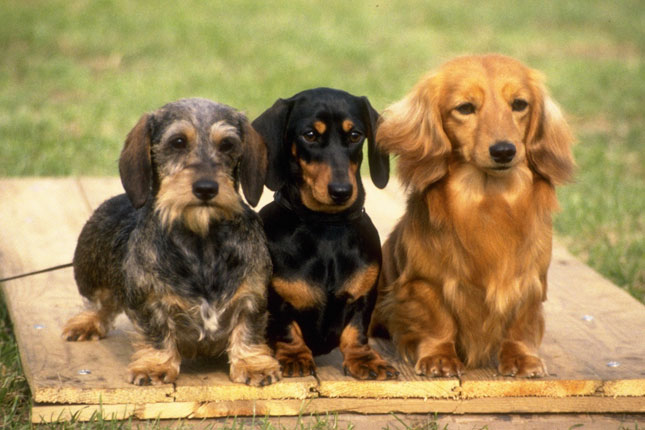 dachshund puppies