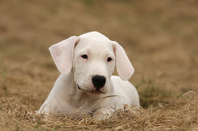 dogo argentino puppy photo