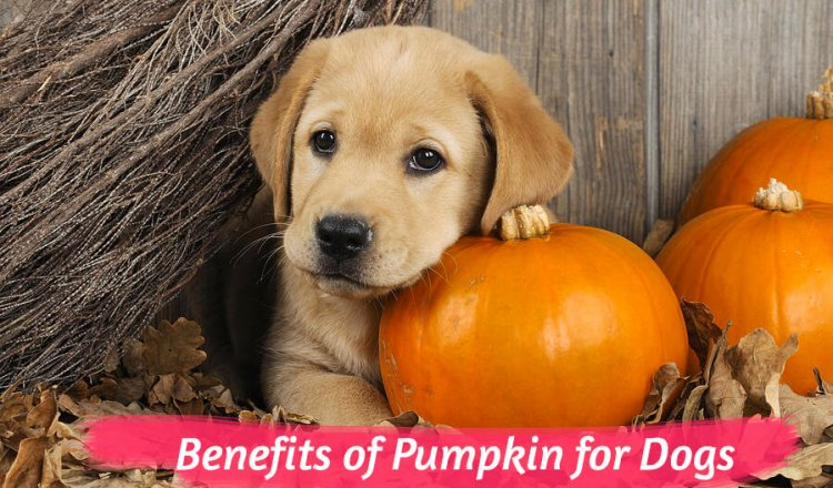 Benefits of Pumpkin for Dogs