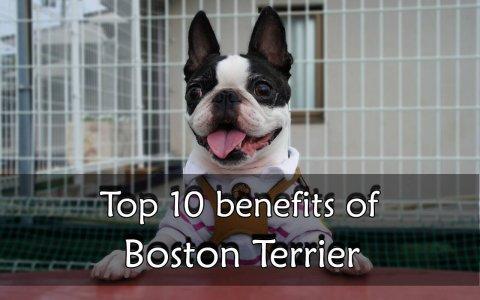 Boston Terrier benefit