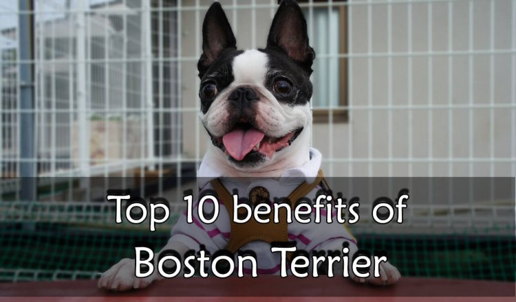 Boston Terrier benefit