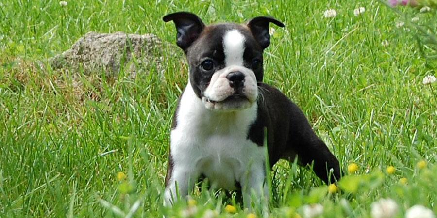 Boston Terrier benefits