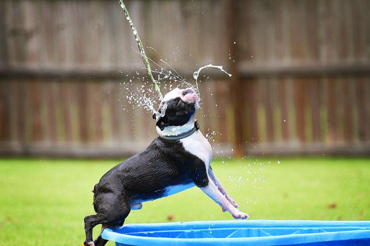 Boston Terrier playing