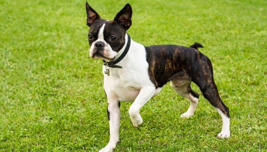 Boston Terriers cute dog