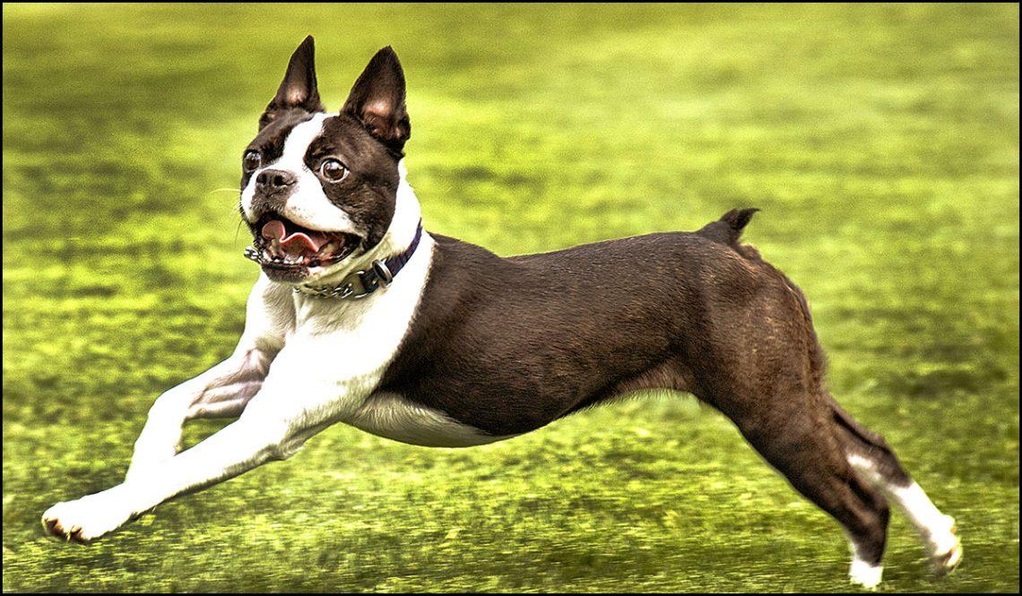 Boston Terriers little dog