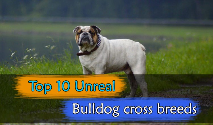 Bulldog cross breeds