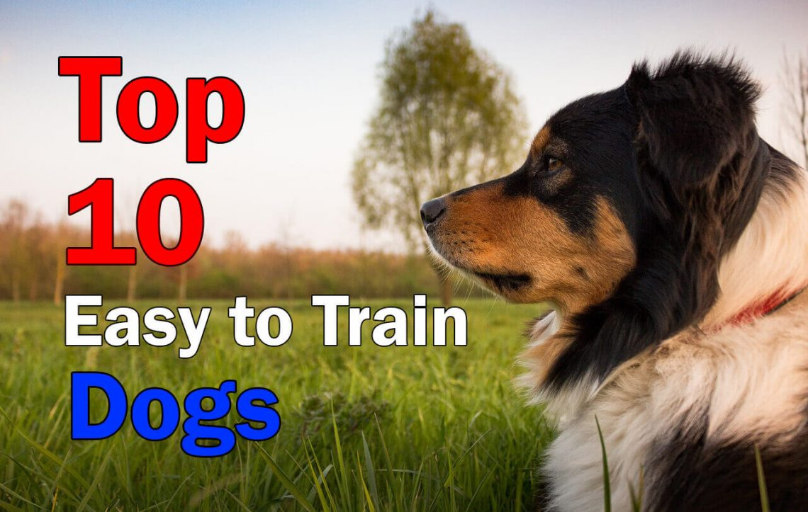 Top 10 Easiest Dog Breeds to train in the world - Dogmal.com | Easiest Dog Breeds To Train
