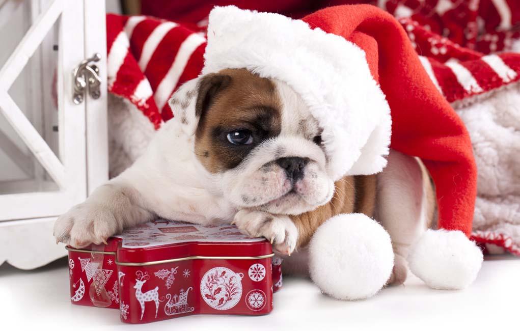 Exclusive Christmas dog shirts